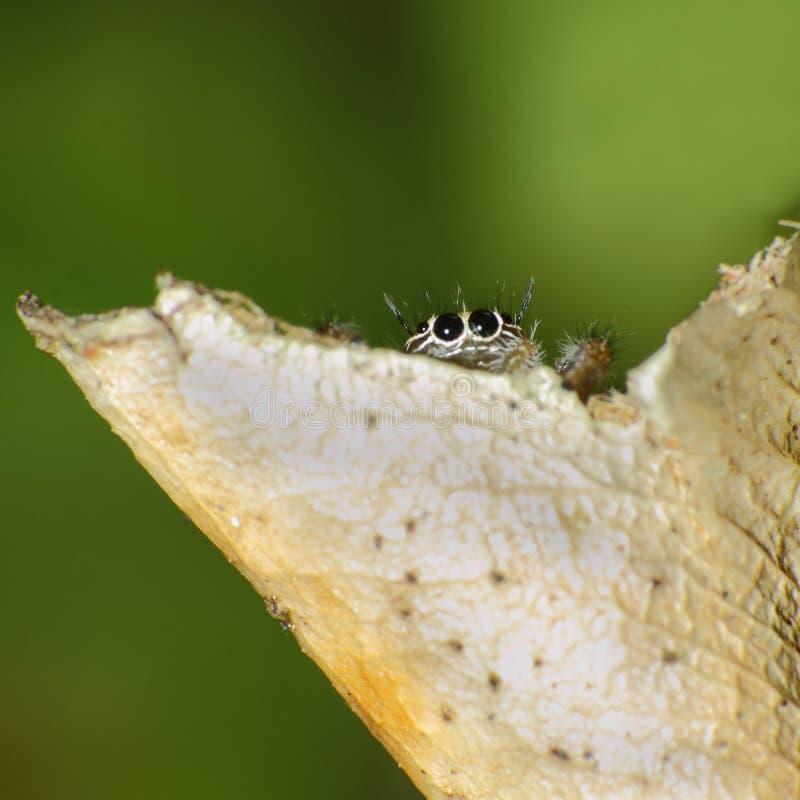 Springende Spinne, die hinter trockenem Blatt sich versteckt stockfoto