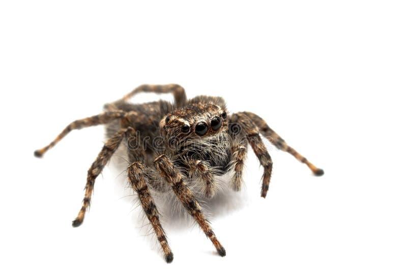 Springende Spinne getrennt über Weiß stockfotos