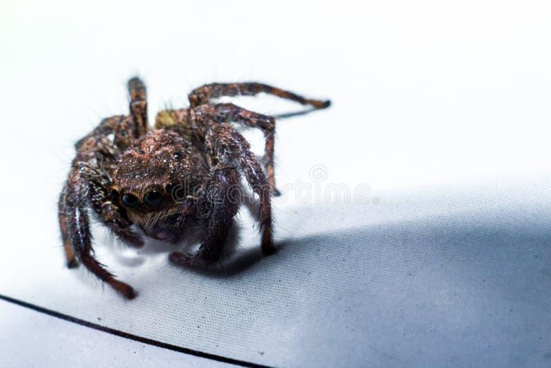 Springende Spinne nahm im Abschluss oben gefangen lizenzfreies stockfoto