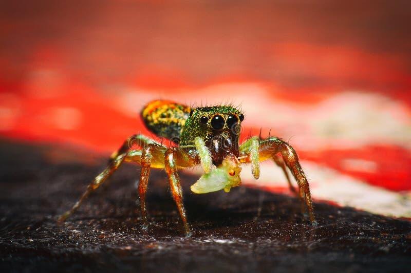 Springende Spinne, Pfauspinne stockbild