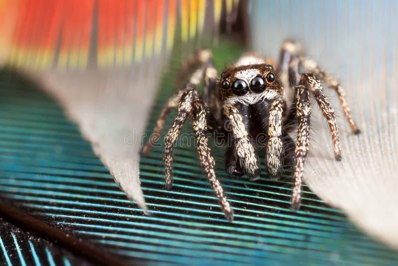 Springende Spinne und Federn lizenzfreie stockfotos