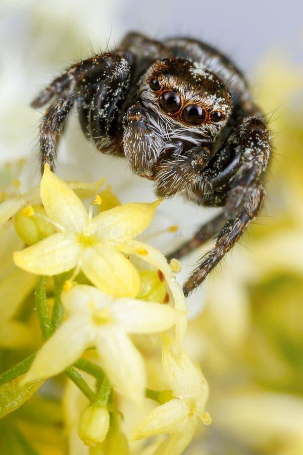 Springende Spinne und hellgelbe Blumen lizenzfreies stockbild