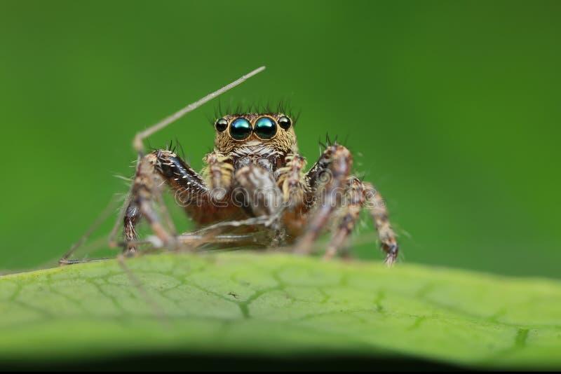 Springende Spinne und Opfer auf grünem Blatt in der Natur lizenzfreie stockbilder