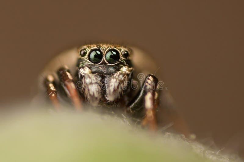 Springende Spinne, welche die Kamera betrachtet lizenzfreies stockbild