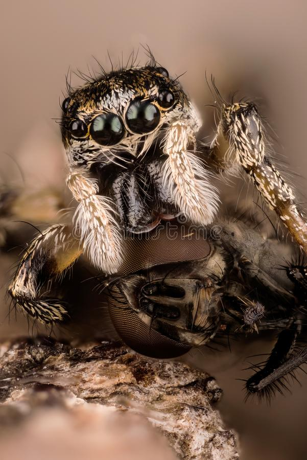 Springende Spinne, Zebra-hintere Spinne, Spinne, Salticus-scenicus, Salticidae stockfoto