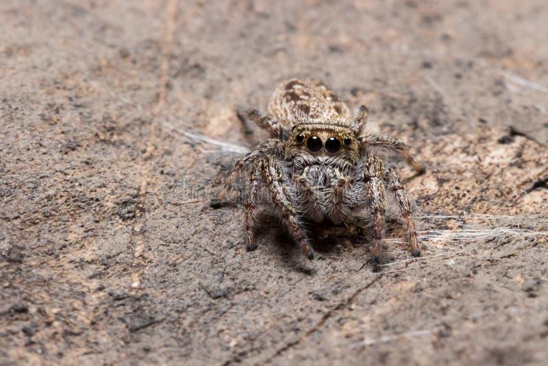 Springende Spinnen-Mischungen mit Umwelt lizenzfreies stockbild