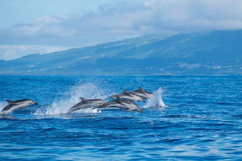 Springende wilde dolfijnen stock foto's