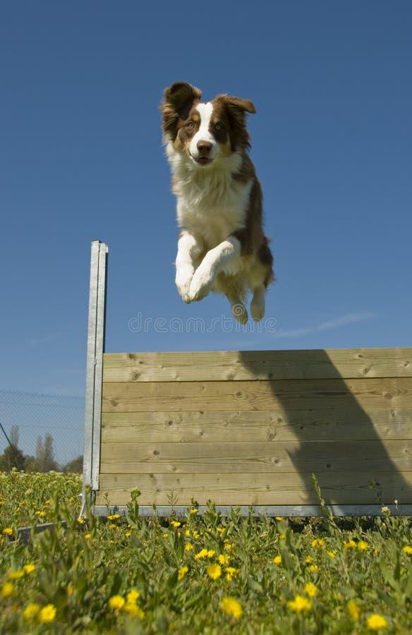 Springender australischer Schäferhund stockfotos