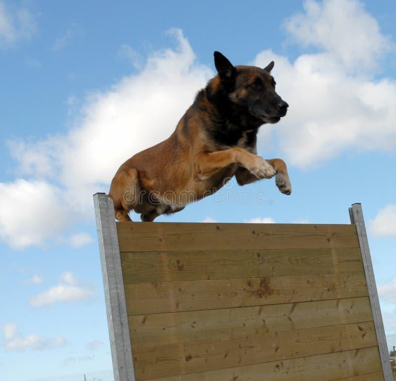 Springender belgischer Schäferhund lizenzfreie stockfotografie