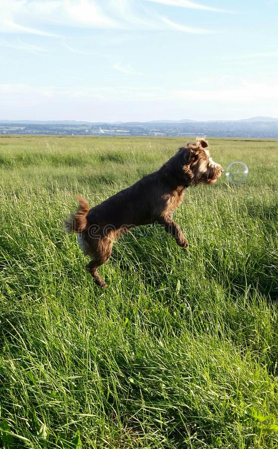 Springender Hund mit Blase stockbild