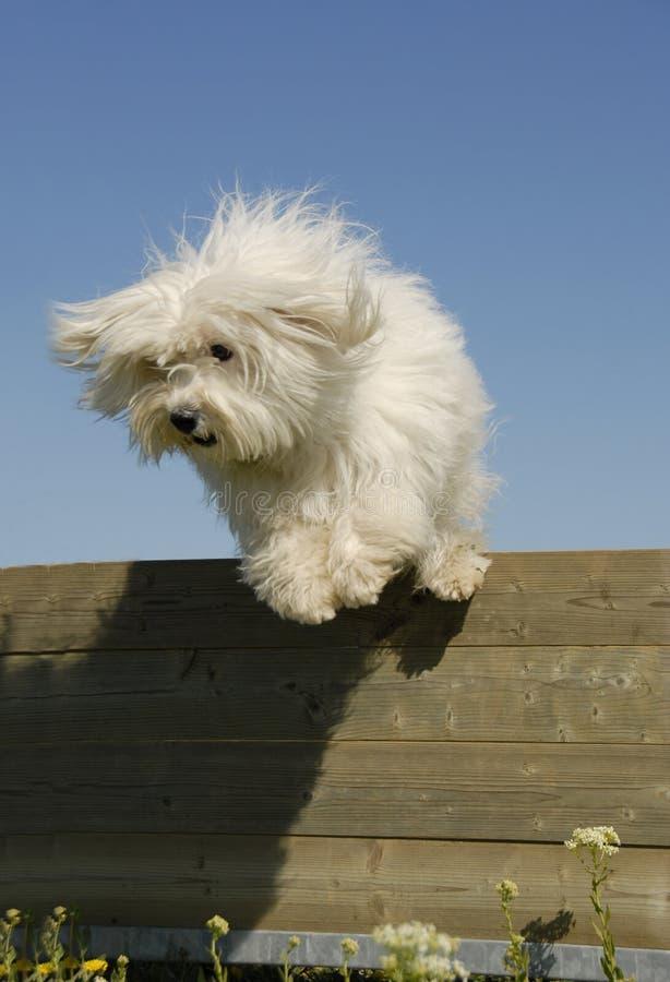 Springender kleiner weißer Hund stockfotos