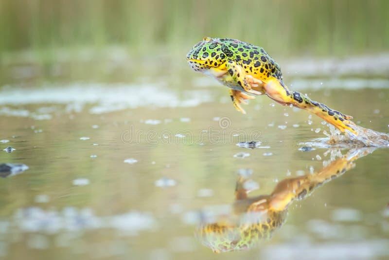 Springender Pacman-Frosch mit reclection stockbild