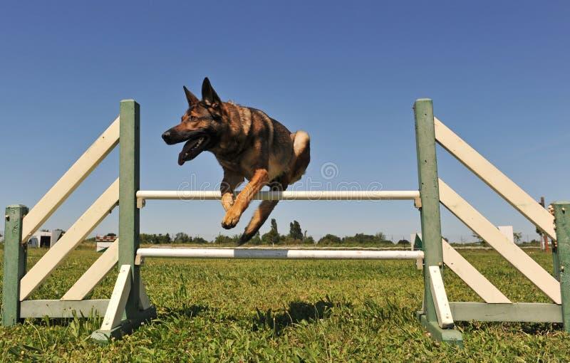Springender Schäferhund lizenzfreies stockfoto