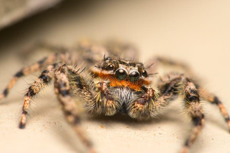 Springendes Spinnen-ausführliches makro Foto auf Lager stockfotografie