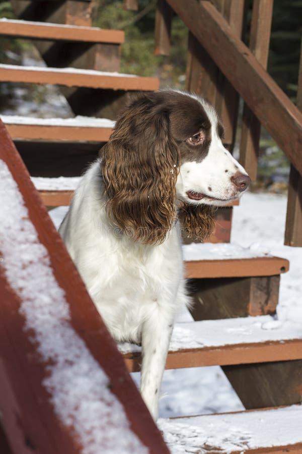 Springer nas escadas imagem de stock
