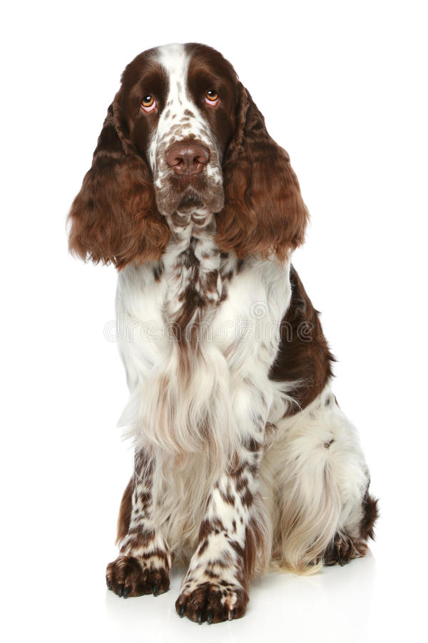 Springer Spaniel. Sits on a white background royalty free stock image