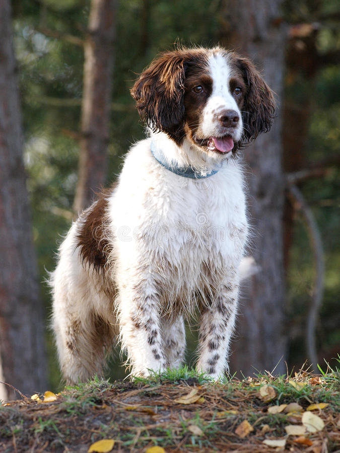 Springer Spaniel. A brown and white Springer Spaniel in the woods stock images