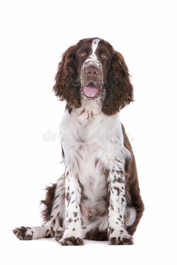Free Springer Spaniel Stock Images - 24410084