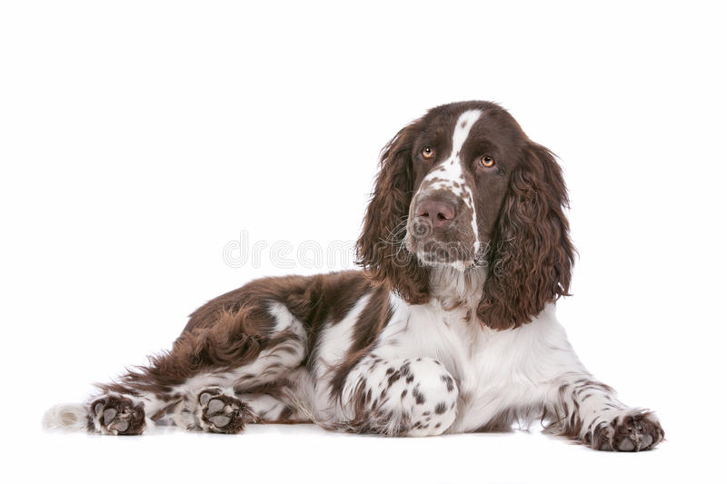 Springer Spaniel. In front of a white background royalty free stock image