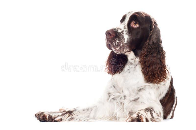 Springer spaniel dog. Brown and white springer spaniel dog stock photo