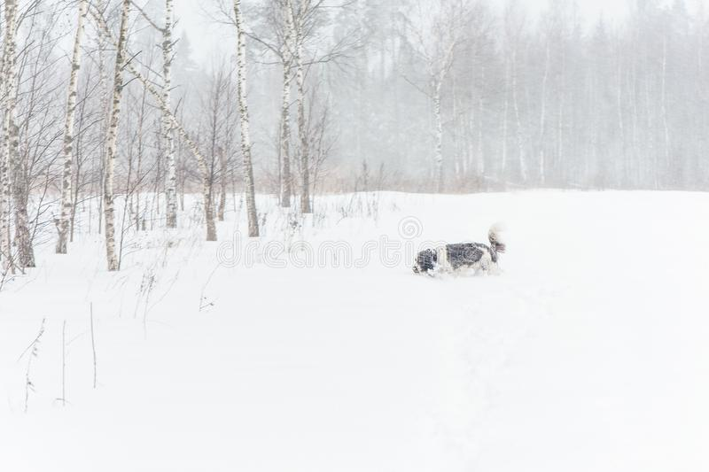Springer spaniel dog running in winter nature. A hunting dog follows the trail in winter nature on a field under a snowfall. Springer spaniel dog running in stock photo