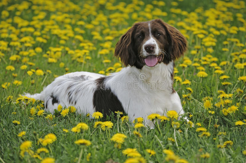 Springer Spaniel. English Springer Spaniel laying in meadow of flowers stock photography