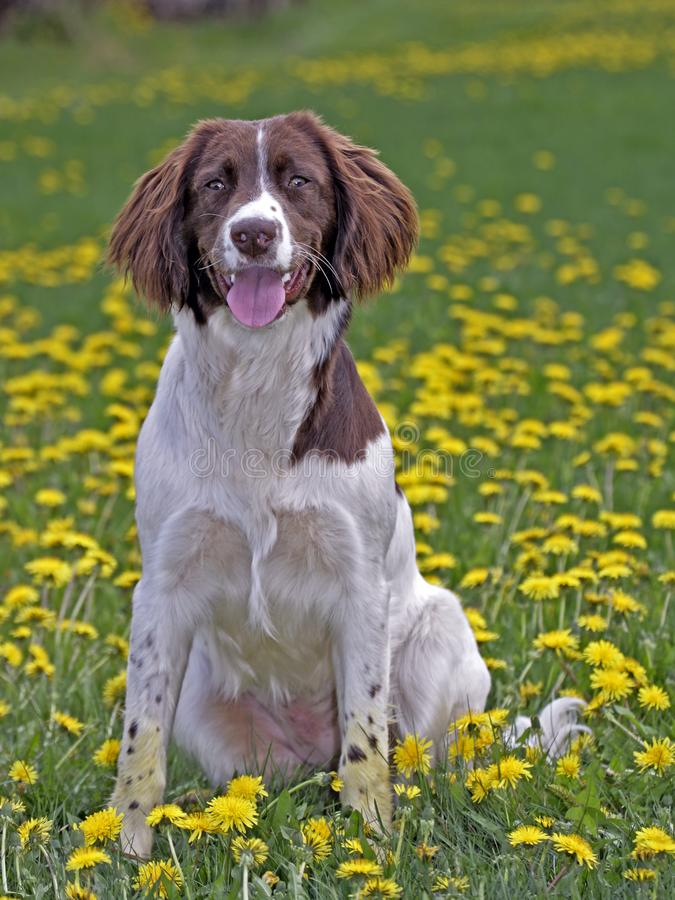 Springer Spaniel. English Springer Spaniel sitting in meadow of flowers royalty free stock image