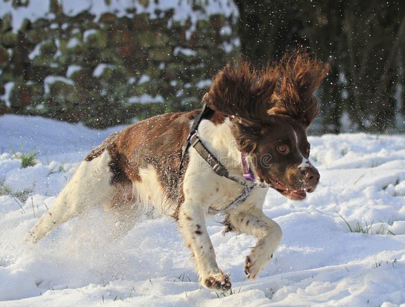 Springer spaniel fonctionnant dans la neige photo stock