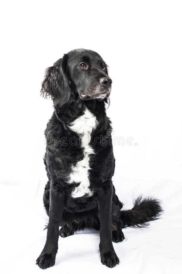 Springer spaniel Mudi dog Isolated on White. Cross Breed dog of Springer spaniel and Mudi isolated on white background stock images