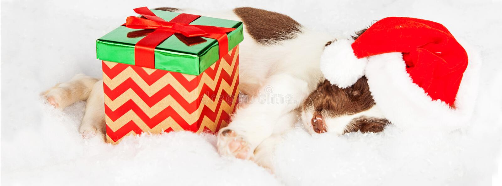 Springer Spaniel Puppy Wearing Santa Hat While Sleeping By Gifts royalty free stock photo