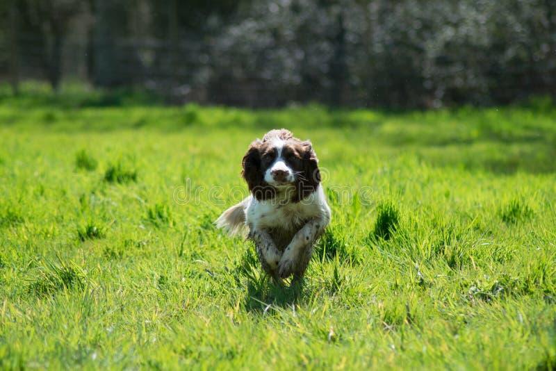 Springer Spaniel running stock photo