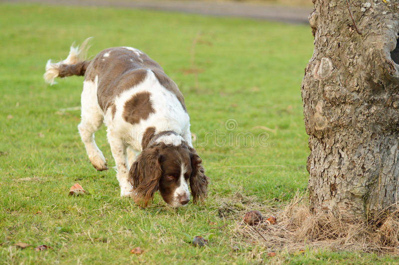 English Springer spaniel dog. Sniffing ground in orchard royalty free stock image