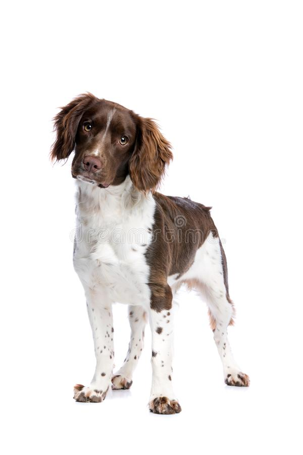 Springer spaniel. Dog in front of a white background royalty free stock photo