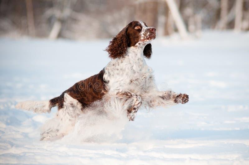 Springer Spanielhund, der in den Schnee läuft und springt stockfotografie