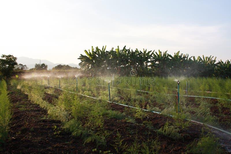 Springervatten i sparris för organiskt lantbruk. arkivbild