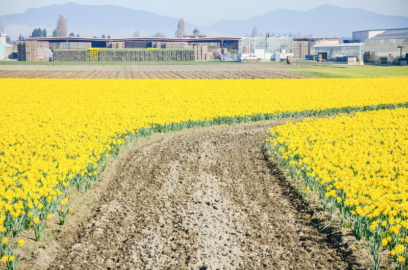 Top view s-curved winding path in daffodil farm at Skagit Valley. Springfield of bright yellow daffodil narcissus flower blossom in local farm at Skagit Valley stock image