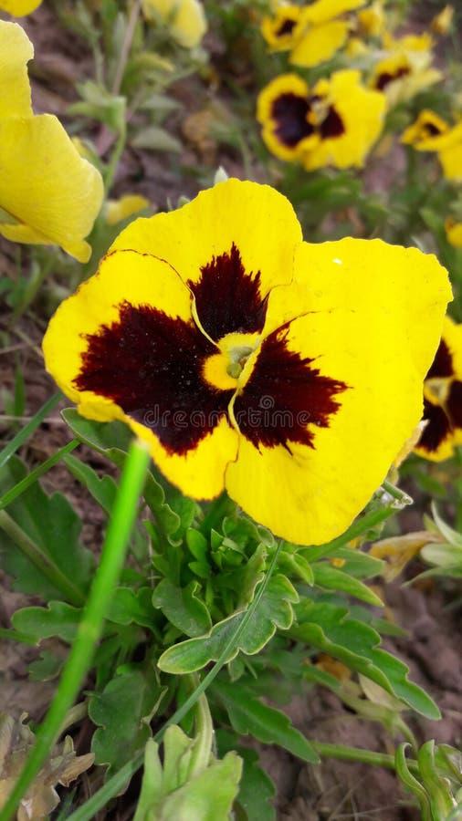 Springflower photos libres de droits
