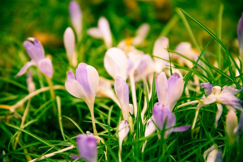 Violet crocus on a green meadow stock image