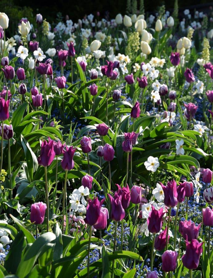 Springflowerfield στην άνθιση, τις όμορφες πορφυρές τουλίπες και την άσπρη άνθιση ναρκίσσων στοκ εικόνες με δικαίωμα ελεύθερης χρήσης