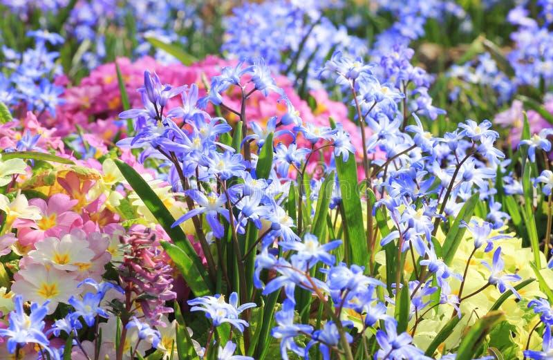 Springlike bloembed met sleutelbloem, primula en scilla stock afbeeldingen