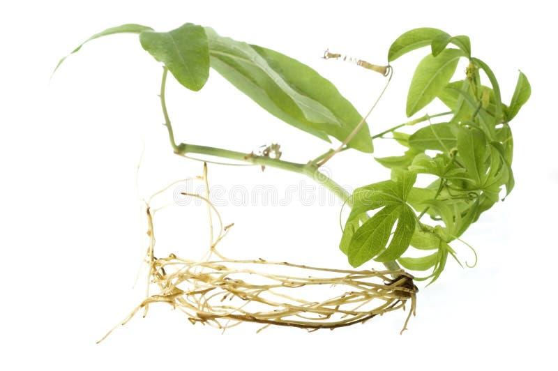 Springplant con il sistema della radice fotografia stock