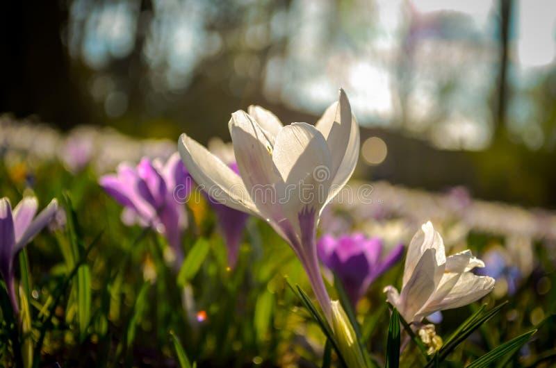 Springscene van kleurrijke krokusbloemen met erachter zonlicht van royalty-vrije stock fotografie