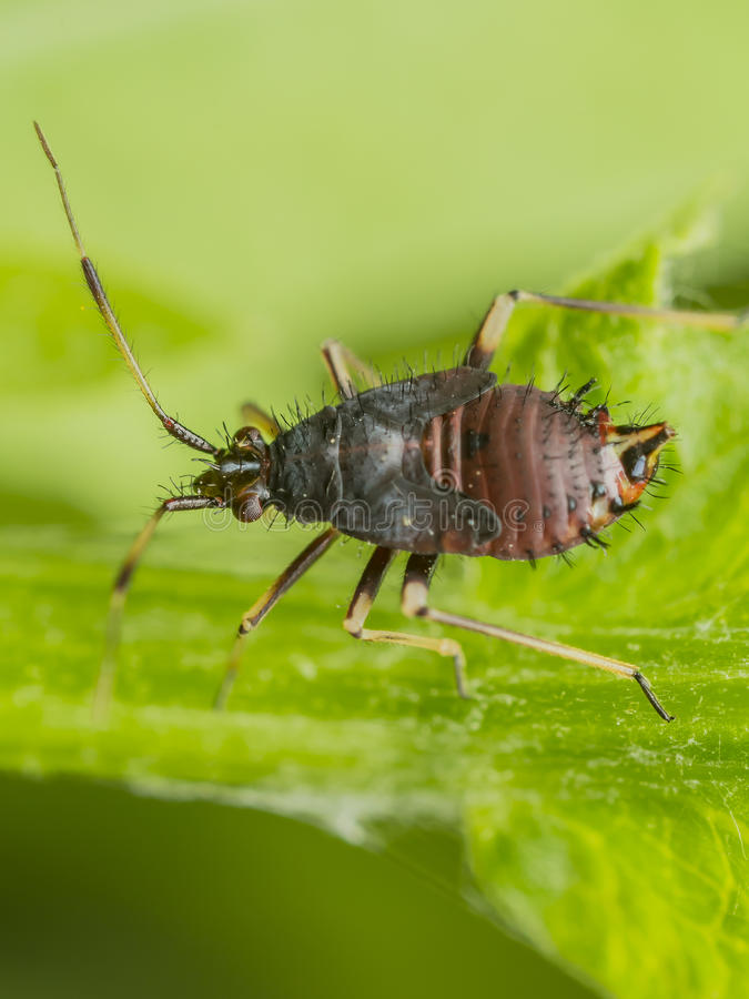 Springtail. Insect On A Green Leaf. s (Collembola) form the largest of the three lineages of modern hexapods that are no longer considered insects (the other royalty free stock photo