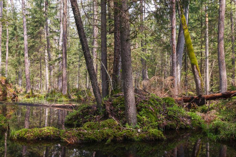 Springtime alder bog forest. Springtime alder-bog stand with standing water in foreground and old alder trees in background, Bialowieza Forest, Poland, Europe royalty free stock photography