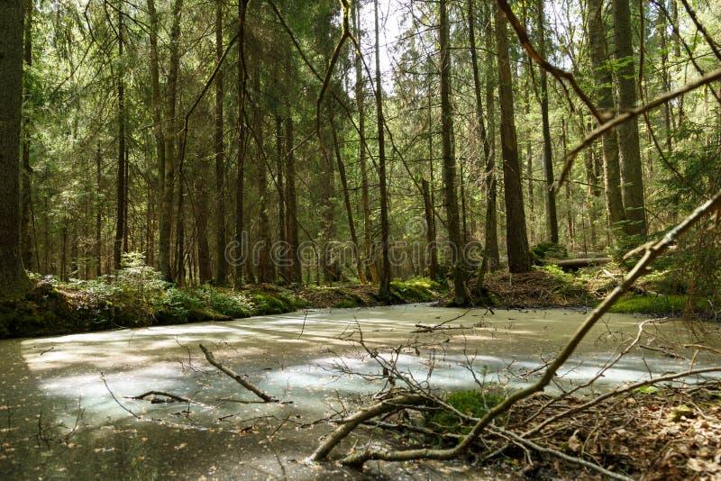 Springtime alder bog forest with standing water.  stock image