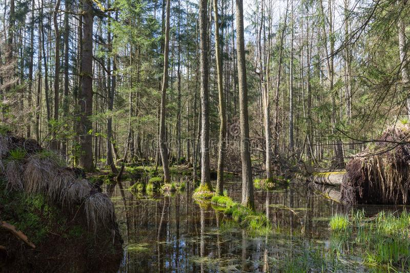 Springtime alder-bog forest. With standing water, Bialowieza Forest, Poland, Europe royalty free stock photography