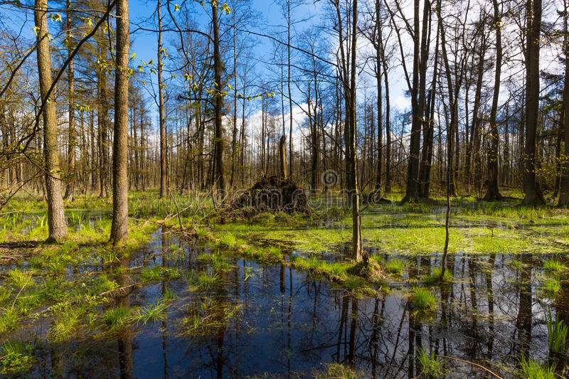 Springtime alder-bog forest in sun and standing water in foreground. Springtime alder-bog forest in sun with standing water, Bialowieza Forest, Poland, Europe royalty free stock photos