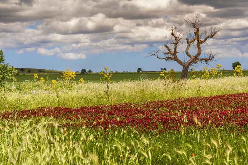 SPRINGTIME. Alta Murgia National Park: field of purple flowers. Apulia-ITALY- stock photography