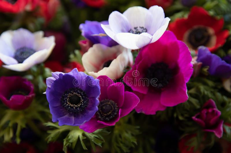 Springtime beautiful Anemone coronaria flowers in violet, blue, white colors. royalty free stock image