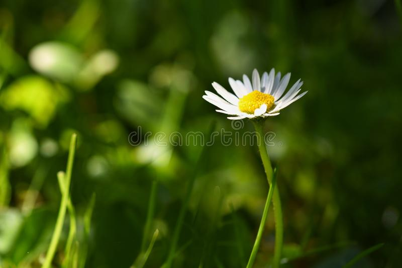 Springtime. Beautiful blooming daisies in spring meadow. Abstract blurred background. stock photo